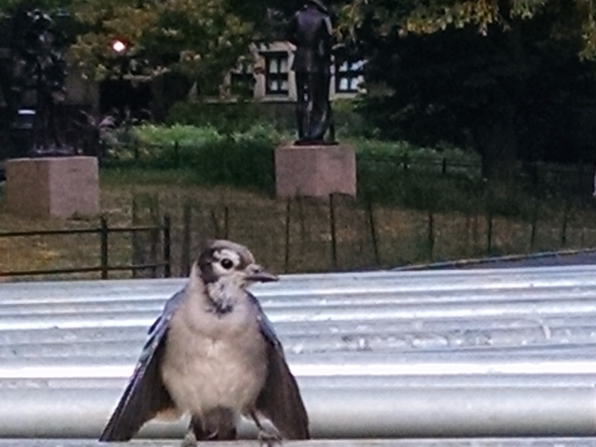blue jay in Central Park New York